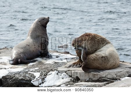Rookery Northern Sea Lion Or Steller Sea Lion. Kamchatka Peninsula, Avachinskaya Bay