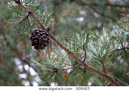 Pine Cone On Branch
