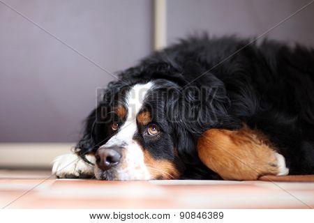 laying a swiss bernese dog