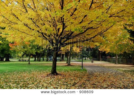 Gelbe Ahorn