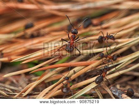 Black ants in the forest