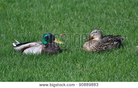 Ducks Sitting in Grass