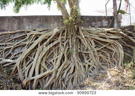 Roots Of Bodhi Tree In The Temple