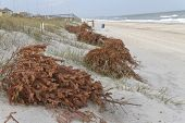 Recycled Christmas trees line the beach shoring up sand dunes and preventing erosion as the wind covers them with sand and turns them into dunes poster