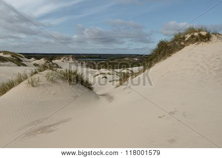Lyme Grass In The Sand Dunes