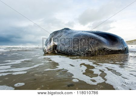 Stranded Sperm Whale lies dead on the beach