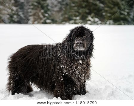 Beautiful big newfondlander dog in snow portrait poster