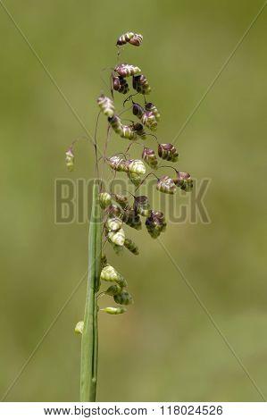 Common Quaking Grass - Briza Media