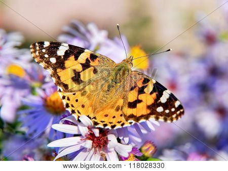 Painted lady butterfly on autumn Aster flower