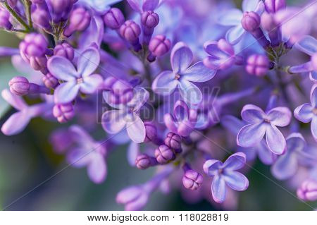 Purple Lilac Spring Bloom Macro