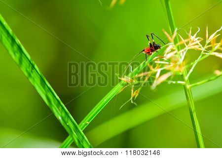Macro/close-up shot of a red and black cricket on a blade of grass