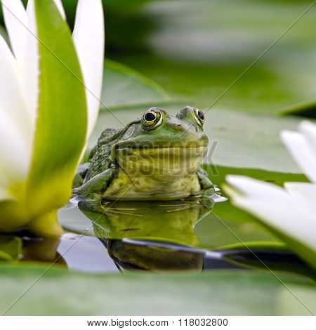 Marsh Frog Among White Lilies