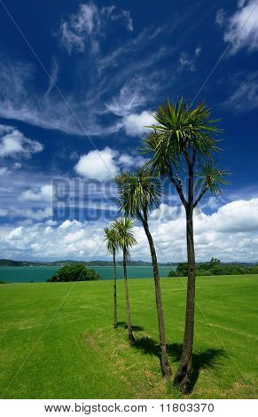 New Zealand Cabbage Trees