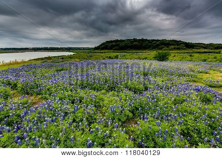 Wide Angle View Of Famous Texas Bluebonnet (lupinus Texensis) Wildflowers