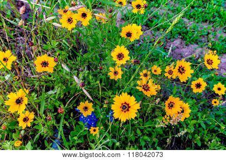 Bright Yellow Texas Plains Coreopsis (coreopsis tinctorai) Wildflowers Growing Wild in Texas poster