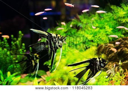 A green beautiful planted tropical freshwater aquarium with fish pterophyllum scalare