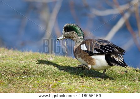 American Wigeon Feasting On The First Grass Of Spring