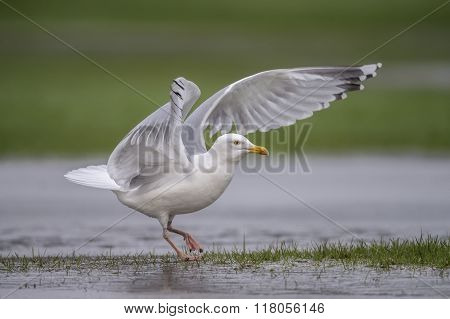 Herring Gull, Larus Argentatus, On A Frozen Puddle