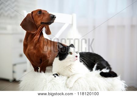 Beautiful cat and dachshund dog on chair, indoor