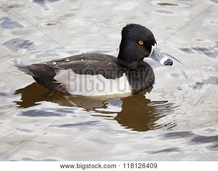 Ring Neck Duck Drake