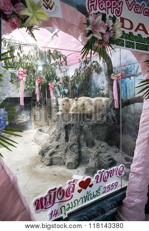 CHIANG MAI,THAILAND-FEBRUARY 14: Two white lions wedding to celebrate Valentine's Day as present for