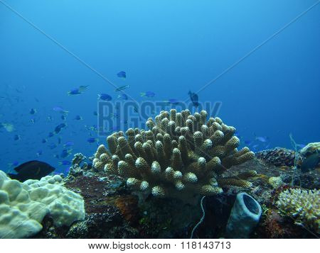 Closed up to coral, Pocillopora