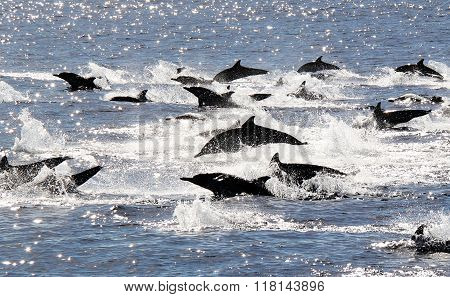 Common Dolphin Stampede