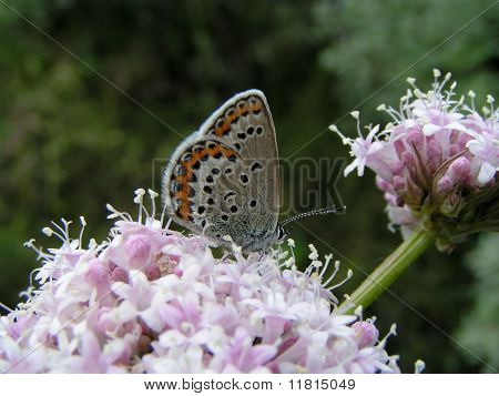 Valerian with butterfly