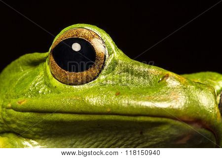 Vietnamese Blue (gliding Or Flying) Tree Frog (polypedates Dennysii)