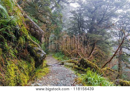 Beautiful rainforest path in New Zealand. Key Summit track Milford Sounds. Misty rainforest tropical rainforest hiking in rainforest. Mysterious rainforest track