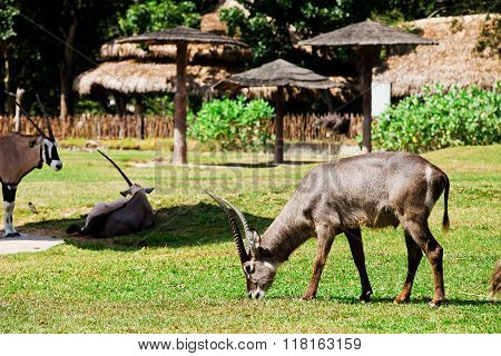 Oryx or Gemsbuck - African Wildlife Background