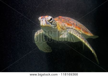 Underwater view of a hawksbill sea turtle (Eretmochelys imbricata), Zanzibar island