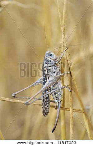 The yellow grasshopper