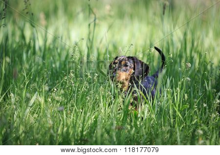 small fanny dog in green grass on summer meadow