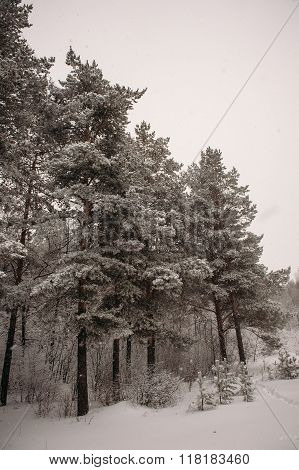 winter forest, pine