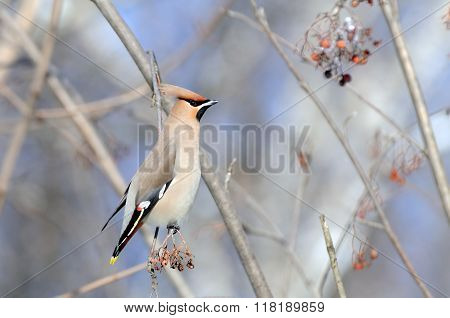 Perching Waxwing At Rowan-tree