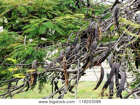 Carob Tree With Carobs