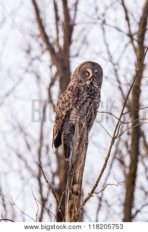 Great Grey Owl in a winter scene