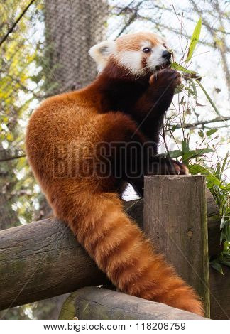 Red Panda Eating