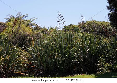 New Zealand Flax In Flower