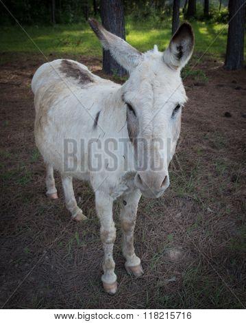 Unsatisfied Donkey 1