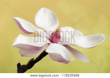 Fine specimen of a white blooming magnolia flower - usable as a photoshop background to put a baby inside.
