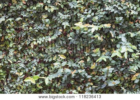 Green Plant Wall Background Decorated In Garden