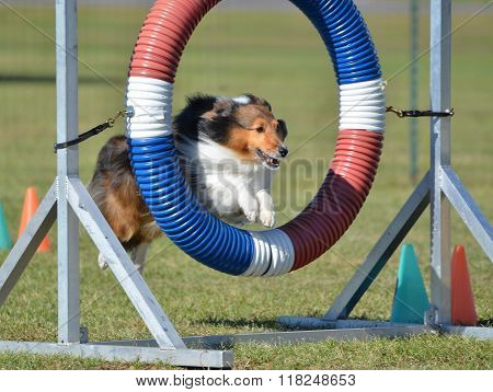 Tricolor Shetland Sheepdog (Sheltie) Leaping Through a Tire at Dog Agility Trial poster