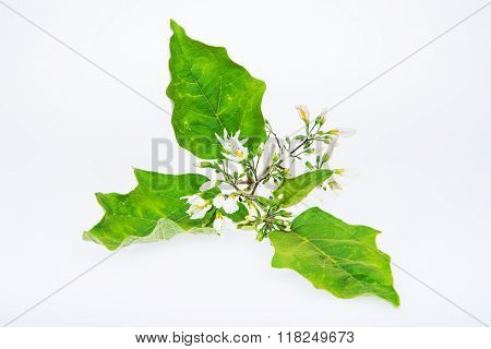Solanum Torvum Sw flowers isolated in white background