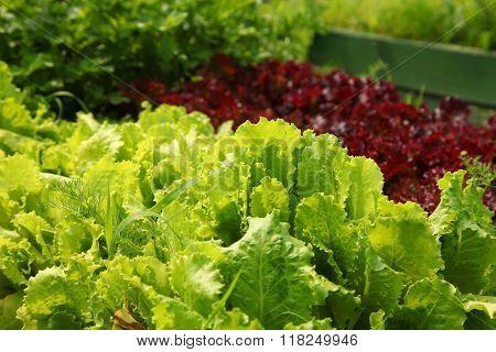 Lettuce Growing In The Garden On The Farm