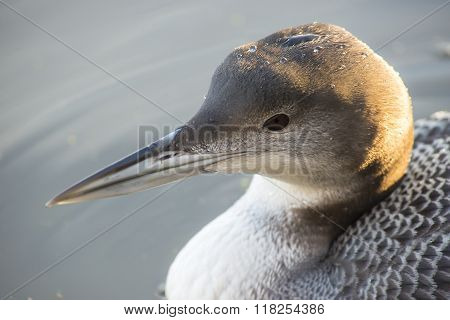 Great Northern Loon
