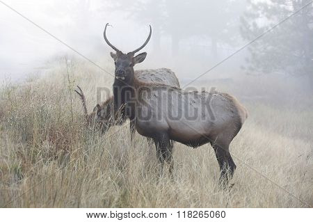 Young Elk in the Morning Fog