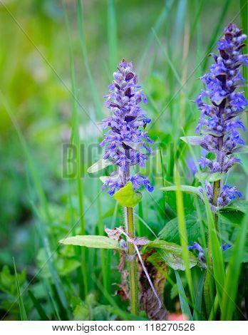 Spring Meadow (ajuga Reptans), Natural Background