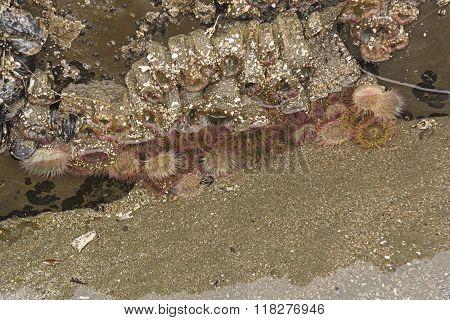Aggregate Sea Anemone In A Tidepool